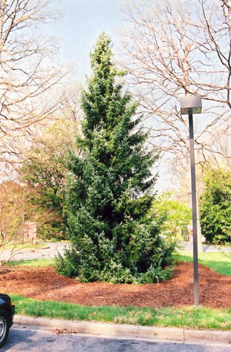 Serbian Spruce Picea Omorika In Milwaukee Racine Waukesha Green Bay Oconomowoc Wisconsin Wi At