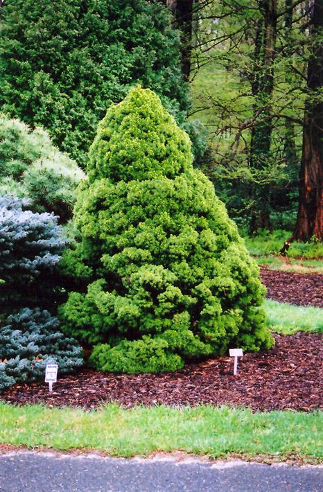Dwarf Alberta Spruce (Picea glauca u0026#39;Conicau0026#39;) in Milwaukee Racine Waukesha Green Bay Oconomowoc ...