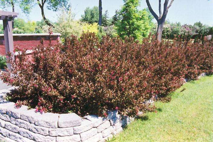 Wine and Roses Weigela (Weigela florida u0026#39;Wine and Rosesu0026#39;) in Milwaukee Racine Waukesha Green Bay ...