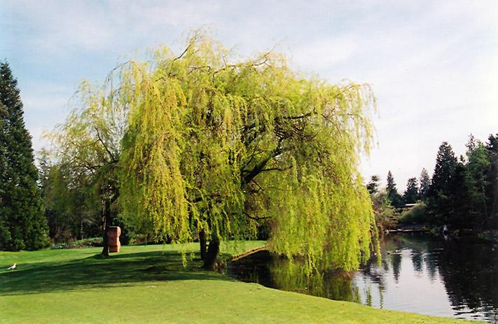 Golden Weeping Willow (Salix x sepulchralis u0026#39;Chrysocomau0026#39;) in Milwaukee Racine Waukesha Green Bay ...