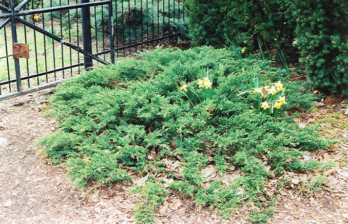 Green Sargent Juniper Juniperus Chinensis 39 Var Sargentii Viridis 39 In Milwaukee Racine