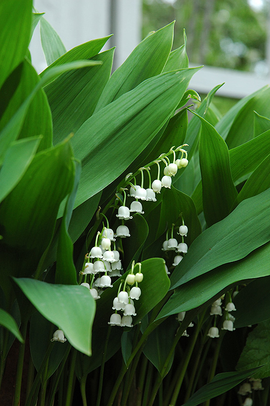 Lily-Of-The-Valley (Convallaria majalis) in Milwaukee Racine Waukesha Green Bay Oconomowoc ...