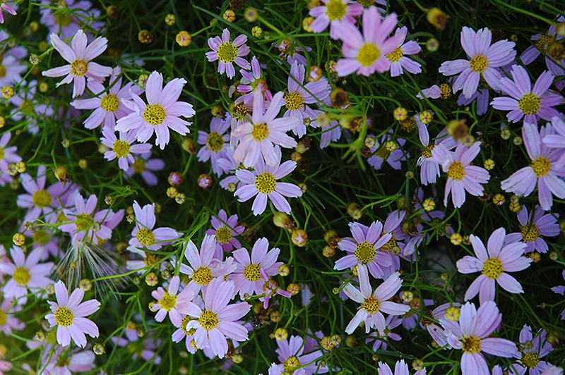 Pink Tickseed (Coreopsis rosea) in Milwaukee Racine Waukesha Green Bay Oconomowoc Wisconsin WI ...