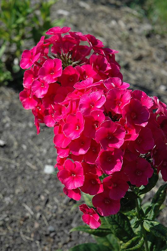 Grenadine Dream Garden Phlox Phlox Paniculata 39 Grenadine Dream 39 In Milwaukee Racine Waukesha