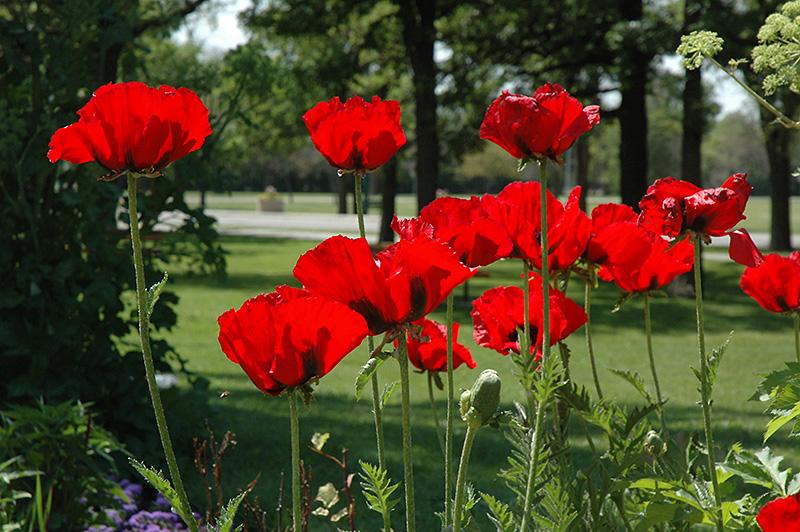 Beauty Of Livermere Poppy Papaver Orientale 39 Beauty Of Livermere 39 In Milwaukee Racine Waukesha