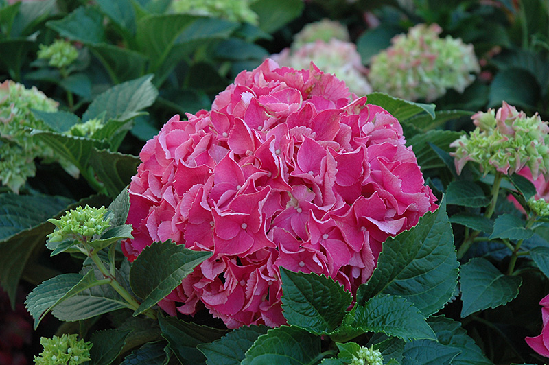Forever And Ever Red Hydrangea (Hydrangea macrophylla u0026#39;Forever And Ever Redu0026#39;) in Milwaukee ...