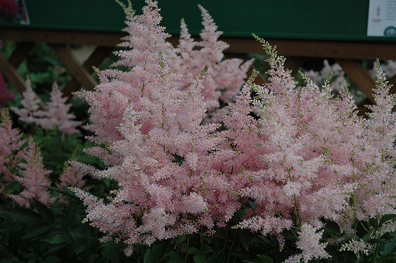 Younique Silvery Pink Astilbe Astilbe 39 Younique Silvery