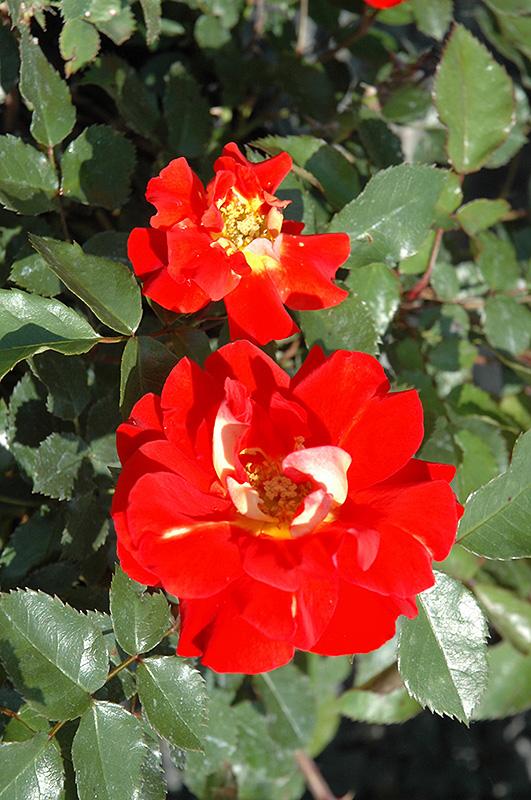 Caramba Shrub Rose Rosa 39 Tanabamar 39 In Milwaukee Racine Waukesha Green Bay Oconomowoc