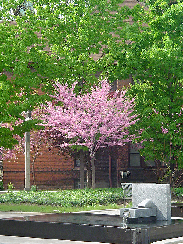 Eastern redbud tree form cercis canadensis 39 tree form 39 in milwaukee racine waukesha green for Stein s garden home green bay wi
