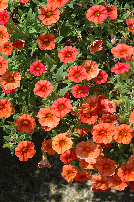 Superbells dreamsicle calibrachoa calibrachoa - Calibrachoa superbells ...