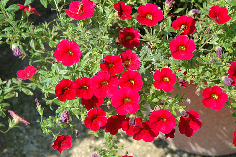 Superbells red calibrachoa calibrachoa 39 superbells red - Calibrachoa superbells ...