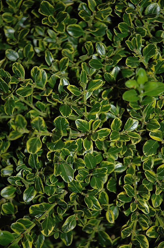Golden Triumph Boxwood Buxus Microphylla 39 Golden Triumph 39 In Milwaukee Racine Waukesha Green