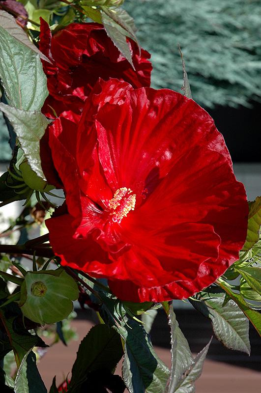 cranberry crush hibiscus hibiscus cranberry crush at steins garden home - Steins Garden