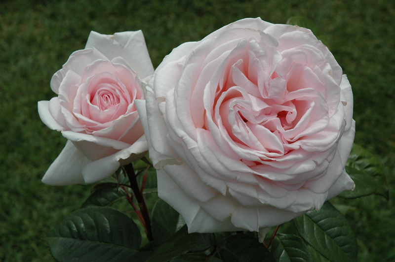 Francis meilland rose rosa 39 meitroni 39 in milwaukee - Stein s garden home green bay wi ...
