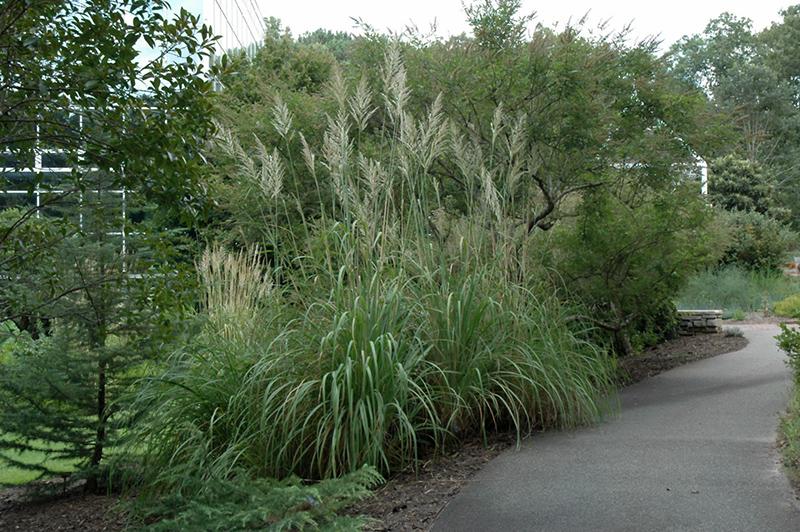 Pampass Grass Erianthus Ravennae In Milwaukee Racine Waukesha Green Bay Oconomowoc Wisconsin