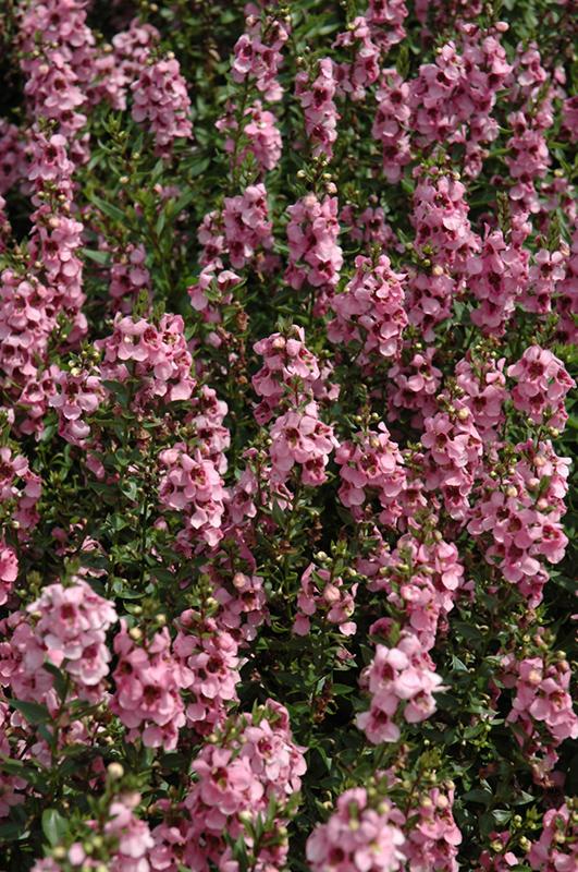 Serenita Pink Angelonia Angelonia Angustifolia 39 Serenita Pink 39 In Milwaukee Racine Waukesha