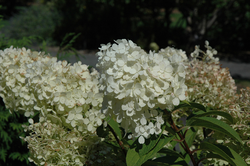 Bobo Hydrangea Hydrangea Paniculata 39 Ilvobo 39 In Milwaukee Racine Waukesha Green Bay Oconomowoc