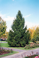 Norway Spruce (Picea abies) at Stein's Garden & Home