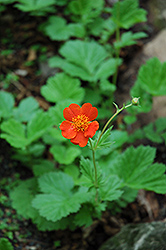 Werner Arends Avens (Geum 'Werner Arends') at Stein's Garden & Home
