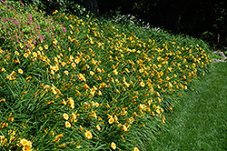 Happy Ever Appster® Happy Returns Daylily (Hemerocallis 'Happy Returns') at Stein's Garden & Home