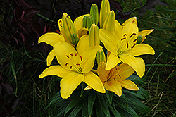 Butter Pixie Lily (Lilium 'Butter Pixie') at Stein's Garden & Home