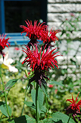 Jacob Cline Beebalm (Monarda 'Jacob Cline') at Stein's Garden & Home