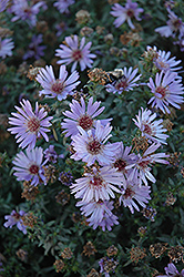Woods Blue Aster (Aster 'Woods Blue') at Stein's Garden & Home