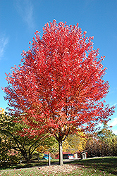 Autumn Blaze Maple (Acer x freemanii 'Jeffersred') at Stein's Garden & Home