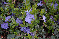Bowles Periwinkle (Vinca minor 'Bowles') at Stein's Garden & Home