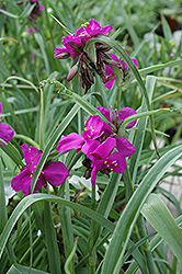 Red Grape Spiderwort (Tradescantia x andersoniana 'Red Grape') at Stein's Garden & Home