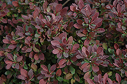Royal Burgundy Japanese Barberry (Berberis thunbergii 'Gentry') at Stein's Garden & Home