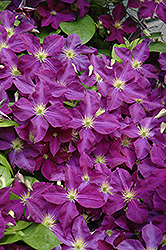 Jackmanii Superba Clematis (Clematis x jackmanii 'Superba') at Stein's Garden & Home