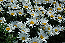 Silver Princess Shasta Daisy (Leucanthemum x superbum 'Silver Princess') at Stein's Garden & Home