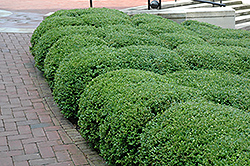 Chicagoland Green Boxwood (Buxus 'Glencoe') at Stein's Garden & Home