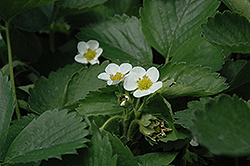 Everbearing Strawberry (Fragaria 'Everbearing') at Stein's Garden & Home