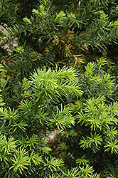 Hicks Yew (Taxus x media 'Hicksii') at Stein's Garden & Home
