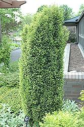 Gold Cone Juniper (Juniperus communis 'Gold Cone') at Stein's Garden & Home