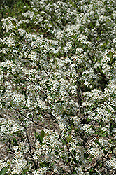 Iroquois Beauty Black Chokeberry (Aronia melanocarpa 'Morton') at Stein's Garden & Home