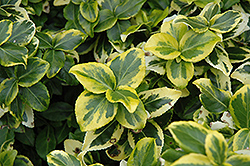 Gold Prince Wintercreeper (Euonymus fortunei 'Gold Prince') at Stein's Garden & Home