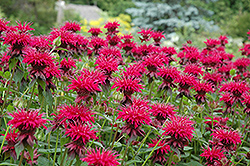 Raspberry Wine Beebalm (Monarda 'Raspberry Wine') at Stein's Garden & Home