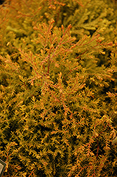 Fire Chief™ Arborvitae (Thuja occidentalis 'Congabe') at Stein's Garden & Home