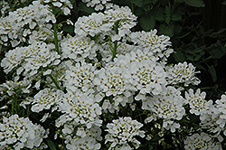 Purity Candytuft (Iberis sempervirens 'Purity') at Stein's Garden & Home