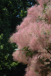 Grace Smokebush (Cotinus 'Grace') at Stein's Garden & Home