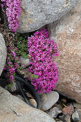 Pink Chintz Creeping Thyme (Thymus praecox 'Pink Chintz') at Stein's Garden & Home
