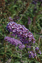 Nanho Blue Butterfly Bush (Buddleia davidii 'Nanho Blue') at Stein's Garden & Home