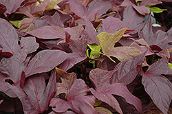 Sweet Caroline Red Sweet Potato Vine (Ipomoea batatas 'Sweet Caroline Red') at Stein's Garden & Home