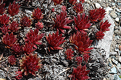 Royal Ruby Hens And Chicks (Sempervivum 'Royal Ruby') at Stein's Garden & Home