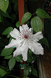 Eye Of The Storm Clematis (Clematis 'Vancouver Fragrant Star') at Stein's Garden & Home