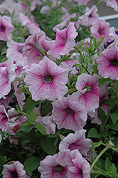 Shock Wave Pink Vein Petunia (Petunia 'Shock Wave Pink Vein') at Stein's Garden & Home