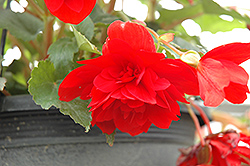 Illumination® Scarlet Begonia (Begonia 'Illumination Scarlet') at Stein's Garden & Home